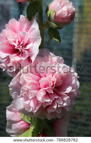 blooming cultivar common...
