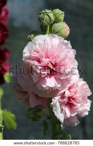 Blooming cultivar common hollyhock (Alcea rosea 'Peaches 'n Dreams') in the summer garden