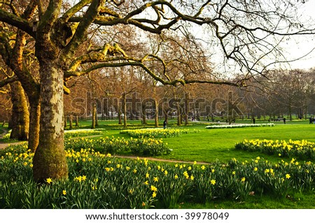Blooming daffodils in St James's Park in London - stock photo