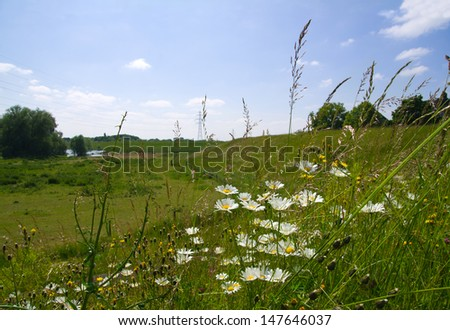 Blooming daisies on the embankment of the River Waal. View of the floodplains of the river in summer.