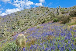 Blooming Desert, with Coulter's Lupine and various Cacti.