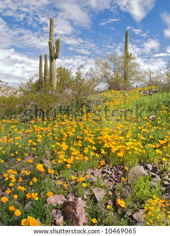 Blooming Desert with Saguaros in Picacho Peak State Park.