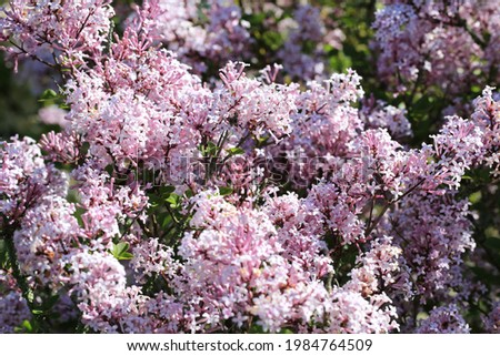 Blooming dwarf lilac in sunny June Photo stock ©