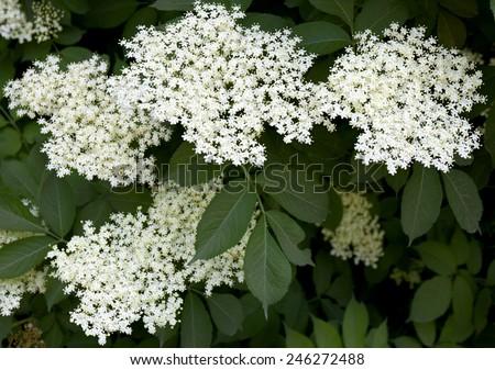 Blooming elderflower in garden (Sambucus nigra). Common names: elder, elderberry, black elder, European elder, European elderberry and European black elderberry.