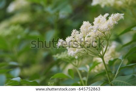 Blooming elderflower. Sambucus nigra (elderflower) in bloom.