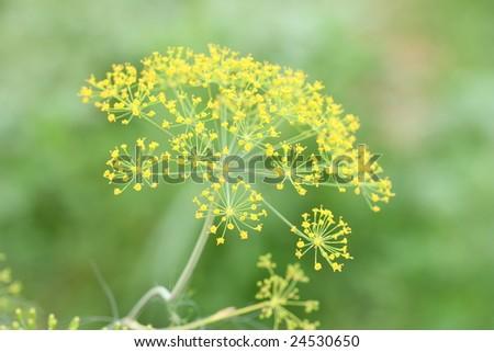 Blooming fennel in a garden - Anethum graveolens