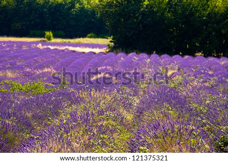 Blooming field of Lavender (Lavandula angustifolia) near of St-Christol and Sault, Vaucluse, Provence-Alpes-Cote d'Azur, Southern France, France, Europe, PublicGround