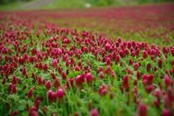 Blooming field of red clover