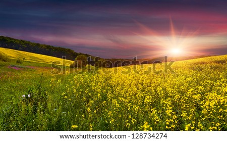 Blooming field of yellow flowers. Summer sunset