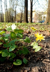blooming fig buttercup on blurry spring park background