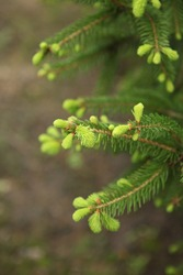 blooming fir branch. Fir branches with fresh shoots in spring. Young growing fir tree sprouts on branch in spring forest. Spruce branches on a green background. fir branch with green buds 16