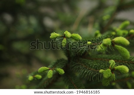 blooming fir branch. Fir branches with fresh shoots in spring. Young growing fir tree sprouts on branch in spring forest. Spruce branches on a green background. fir branch with green buds 18
