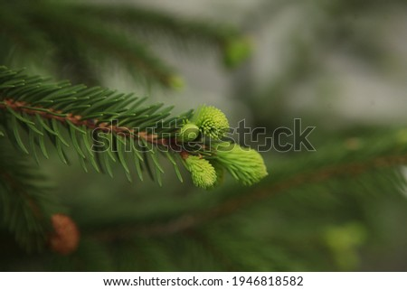 blooming fir branch. Fir branches with fresh shoots in spring. Young growing fir tree sprouts on branch in spring forest. Spruce branches on a green background. fir branch with green buds 20