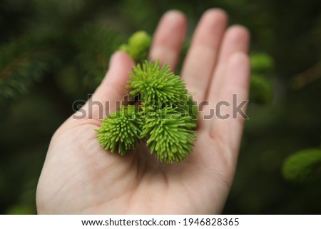 blooming fir branch. Fir branches with fresh shoots in spring. Young growing fir tree sprouts on branch in spring forest. Spruce branches on a green background. fir branch with green buds