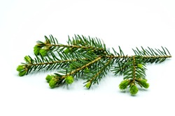 blooming fir branch isolated on white background