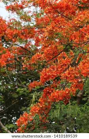 Blooming flamboyant flower. Flamboyant tree, Royal poinciana or flame tree. #1410189539