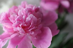 Blooming flourished flower postcard. Beautiful pink bloom peony with copyspace.