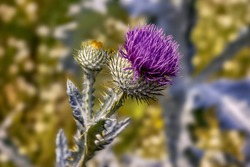 Blooming Flower And Thorns Of A Donkey Thistle Onopordum Acanthium