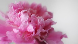 Blooming flower banner. Beautiful pink flourished peony on white background.