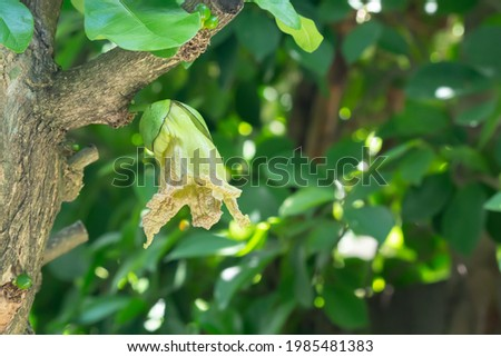 Blooming flower of Calabash Tree, Wild Calabash (Crescentia cujete) hanging from branch with blurred green leaves of Ficus Stockfoto ©