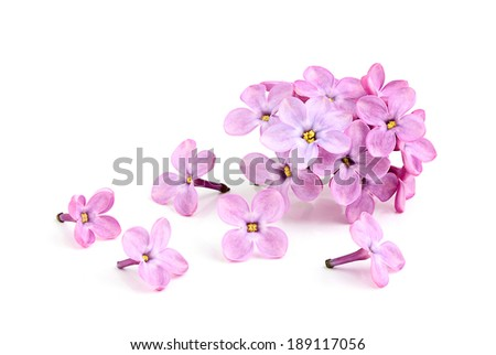 Blooming flower of purple lilac on white background. #189117056