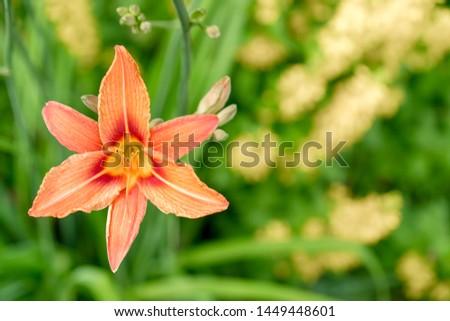 blooming flower orange Lilium bulbiferum.  plant blooming orange tropical flower tiger lily