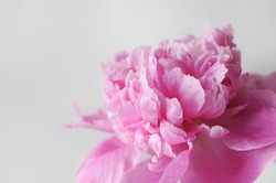 Blooming flower postcard. Beautiful pink flourished peony on white background.