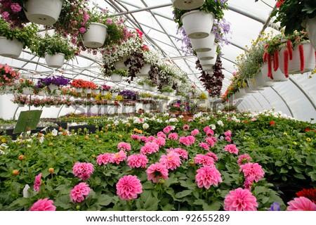 Blooming Flowers inside a garden center greenhouse
