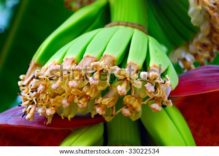Blooming flowers of the banana tree. Maturing fruits.