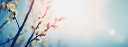 Blooming fluffy willow branches in spring close-up on nature macro with soft focus on turquoise background sky in sunlight. Pastel gentle tones blue and pink, ultra wide format.