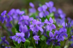 Blooming forest violet bush in a spring day. Close-up. Lilac delicate flowers of wild violets. Young light green foliage and bright spring colors of the forest. Spring transformation of nature