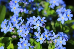 Blooming forget-me-not in sunny June