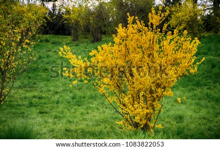 Free Photos Bush Forsythia With Yellow Flowers In Early Spring
