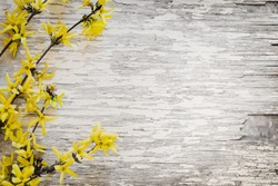 Blooming Forsythia/Spring background with yellow flowers tree brunches