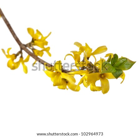 blooming forsythia , spring flower isolated on white
