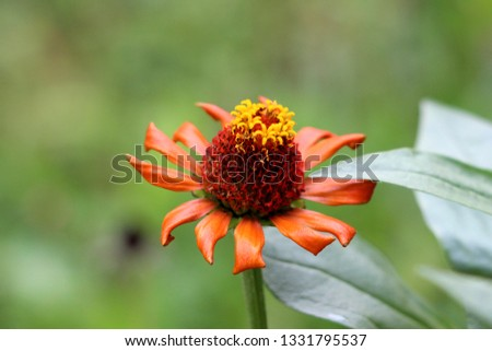 Blooming fully open Zinnia flower with single row of orange petals started to shrivel and wither surrounded with thick dark green leaves in local garden on warm sunny day