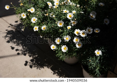 Blooming garden daysies Leucanthemum vulgare, commonly known as the ox-eye daisy, oxeye daisy, dog daisy potted at the greek flower shop in springtime. Horizontal. Daylight. Stock foto ©