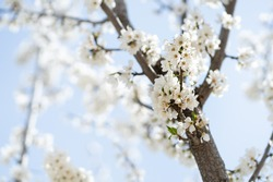 Blooming gardens in spring, blooming spring tree, blooming flowers on trees, spring has come, selective focus, blooming branch on a tree