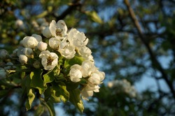 Blooming gardens in spring, blooming spring tree, blooming flowers on trees, spring has come, selective focus, blooming branch on a tree. Blur, soft focus