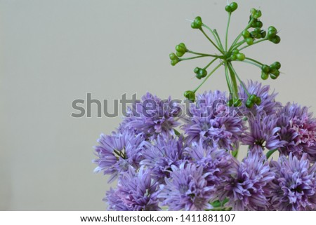 Blooming gently lilac allium with green decor on a gentle light purple background #1411881107