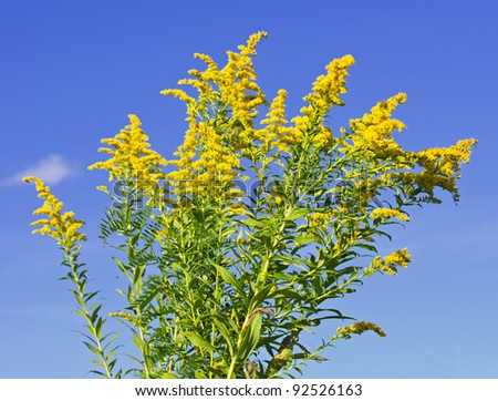 Blooming goldenrod plant on blue sky background