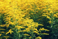 Blooming goldenrod. Solidago, or goldenrods, is a genus of flowering plants in the aster family, Asteraceae