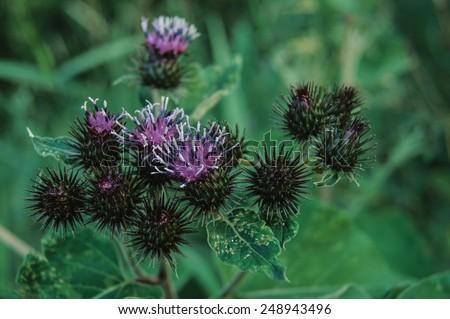 Blooming greater burdock #248943496