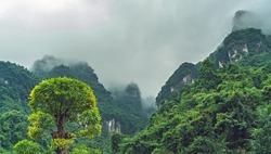 Blooming green tree among Zhanjiajie stunning mountain scenery of the Zhangjiajie National park, a famous tourist attraction, Hunan Province, China
