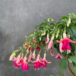 Blooming Hardy fuchsia flower - Fuchsia magellanica, commonly known as the hummingbird fuchsia or hardy fuchsia, is a species of flowering plant in the family Evening Primrose family.