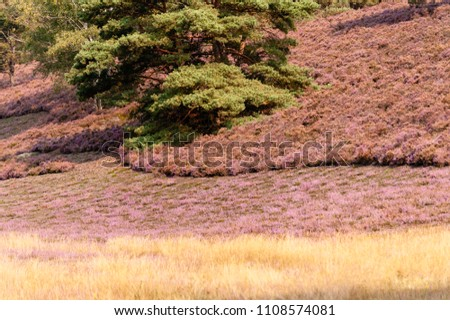 Blooming heath, birches and coniferous tree and beige grass in heathland, Hamburg, Germany at sunny day with no people. #1108574081