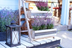 Blooming heather Calluna vulgaris and lamp with a candle in the backyard in summer. Heather blossom of pink vulgaris flowers in basket on terrace. Ornamental garden flowering plant in garden. lavender