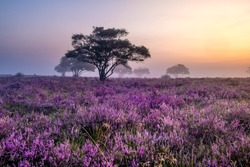 Blooming heather field in the Netherlands near Hilversum Veluwe Zuiderheide, blooming pink purple heather fields in the morning with mist and fog during sunrise Netherlands Europe