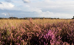 Blooming Heather fields, purple pink heather in bloom, blooming heater on the Regte Heide, Tilburg, Netherlands. Holland, with people hiking through it. and an ancient historic burial mound in nature