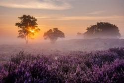 Blooming Heather fields, purple pink heather in bloom, blooming heater on the Veluwe Zuiderheide park , Netherlands. Holland